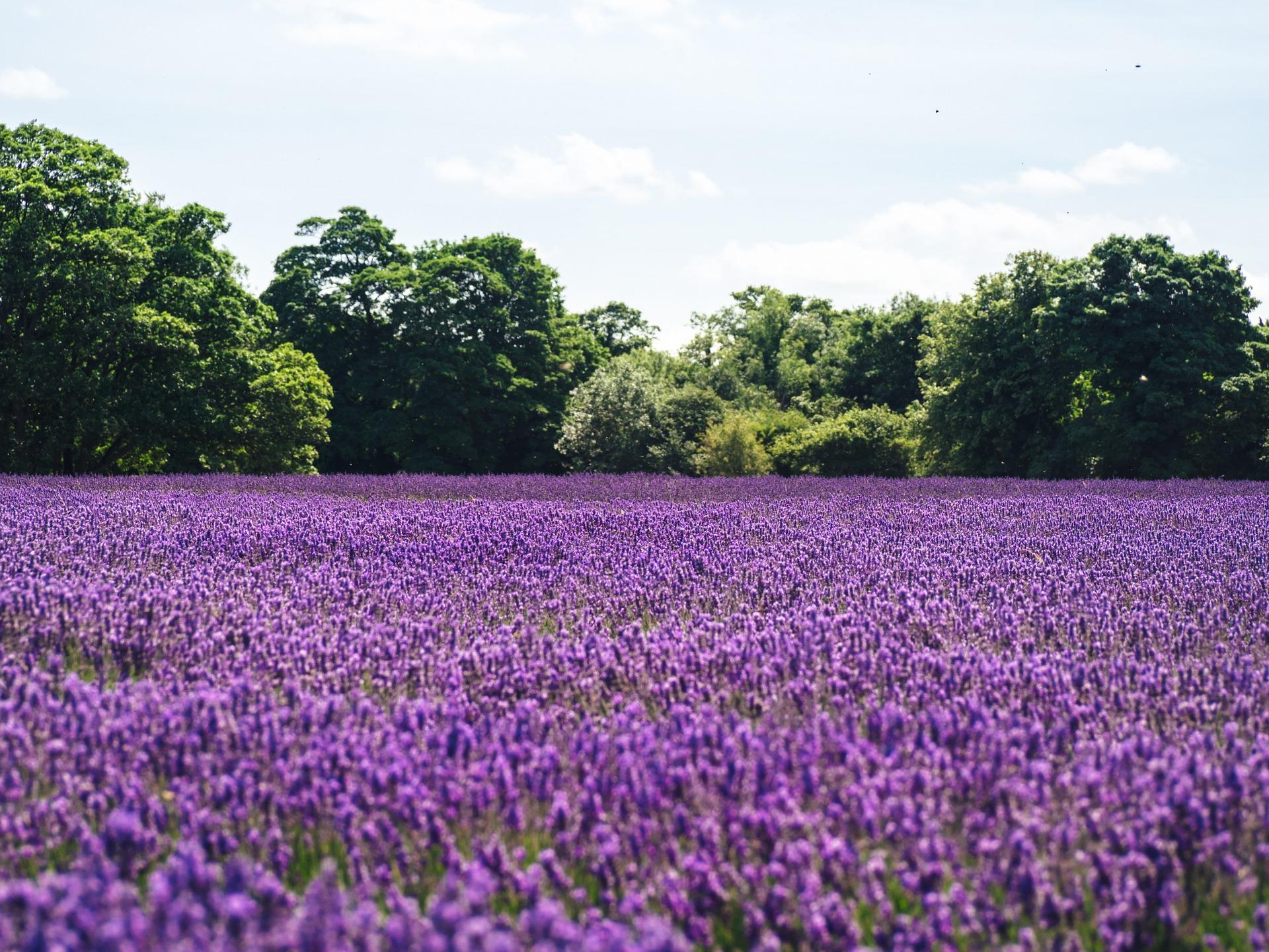 lavender-1081814_1920