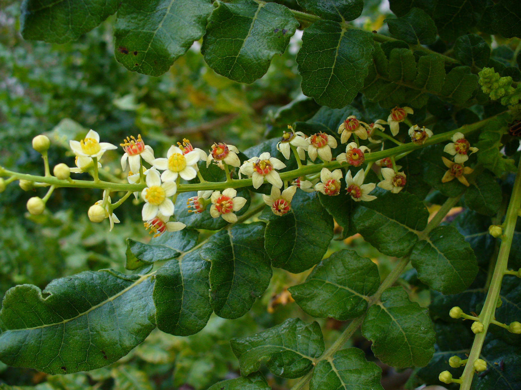 These are the beautiful flowers and branches of the frankincense tree, Boswellia sacra, from which frankincense oil is derived