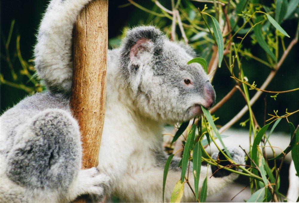How adorable! A koala munching on some tasty eucalyptus leaves :)
