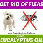 Flea Control: Eucalyptus Oil for Fleas on Dogs