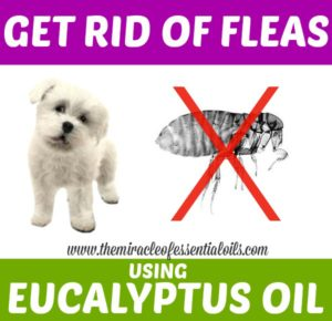 Flea Control: Eucalyptus Oil for Fleas on Dogs
