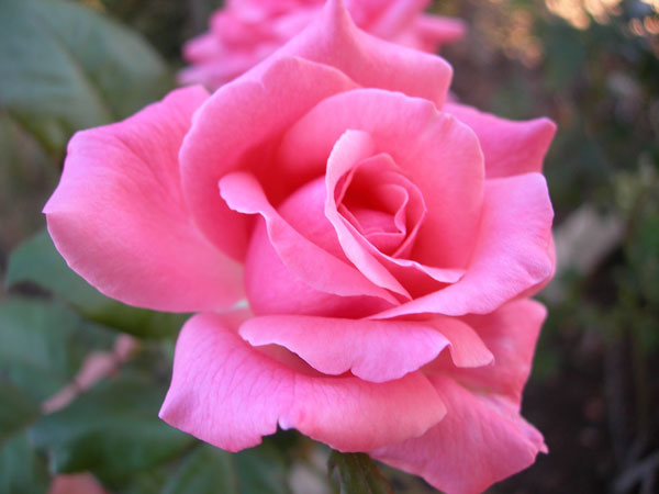 rose-756293_1920small