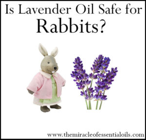Is Lavender Essential Oil Safe for Rabbits?