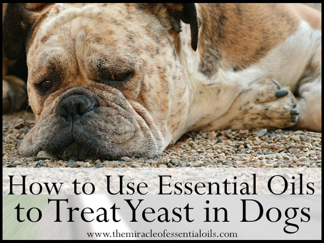 Yeast Infection In Female Dogs 7 Essential Oils for Y...