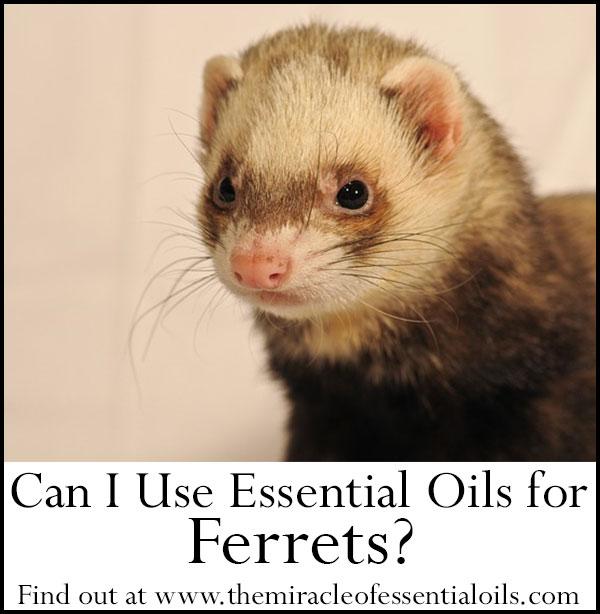 Using Essential Oils for Ferrets
