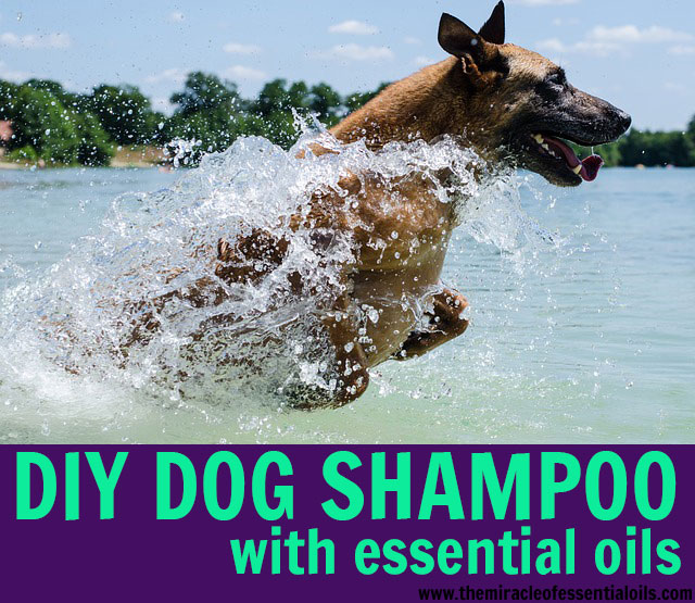 Make an easy and effective DIY essential oil shampoo for dogs to get your dog squeaky clean and banish pet odor