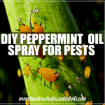 DIY Peppermint Oil Spray for Garden Pests
